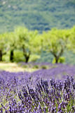 Provence typical landscape. Lavender field royalty free stock photography