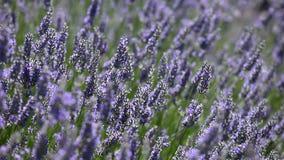 Provence, typical lavender landscape. Lavender field. stock footage