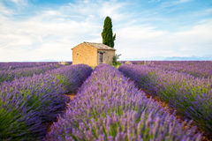 Provence, Valensole Plateau. Lanvender field full of flowers Stock Image