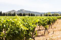 Provence vineyard Stock Image