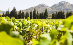 Provence vineyard Royalty Free Stock Image