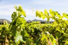 Provence vineyard Royalty Free Stock Images