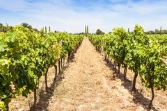 Provence vineyard Stock Image