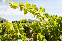 Provence vineyard Stock Images