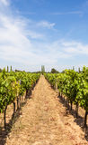 Provence vineyard Stock Photography