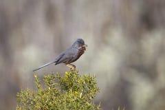 Provencegrasmücke, die auf Stechginster singt Stockbilder