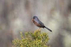 Provencegrasmücke, die auf Stechginster singt Lizenzfreies Stockfoto