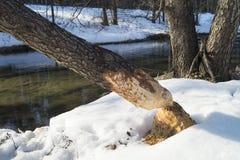 Provenha a árvore com traço dos dentes do castor Imagens de Stock