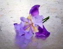 Provenha um único profundo - flor roxa do germanica da íris da íris farpada Foto de Stock Royalty Free