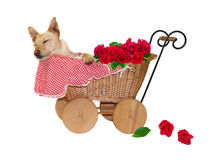 Provided With Roses Royalty Free Stock Image