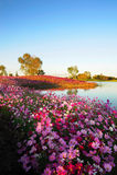 Le Calliopsis près du lac Photographie stock