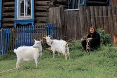 Province household - old lady with domestic white goats Stock Image