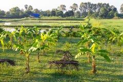 province Vietnam de plantation de khanh de hoa de banane Photos stock