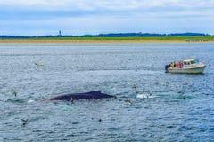 Provincetown, Cape Cod, Massachusetts, de V.S. - Augustus 15, van 2017 Boot, zijn bemanning en walvis stock foto's