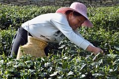 """PROVINCIA de GUIZHOU, †de CHINA """"CIRCA ABRIL DE 2019: Hojas de té de una selección de la mujer de los arbustos del té fotos de archivo libres de regalías"""