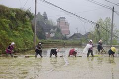 """PROVINCIA de GUIZHOU, †de CHINA """"CIRCA ABRIL DE 2019: La mujer puso las plantas de arroz jovenes en el arroz inundado imagen de archivo"""