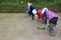"""PROVINCIA de GUIZHOU, †de CHINA """"CIRCA ABRIL DE 2019: La mujer puso las plantas de arroz jovenes en el arroz inundado imagen de archivo libre de regalías"""
