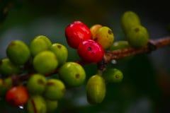 Provincia del caffè Plant Immagine Stock Libera da Diritti