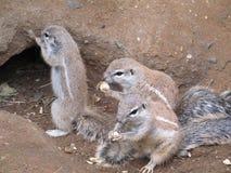 Provincia di capo dello scoiattolo Fotografie Stock
