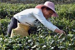 PROVINCIA di GUIZHOU, †della CINA «CIRCA APRILE 2019: Foglie di tè di una scelta della donna dai cespugli del tè fotografie stock libere da diritti