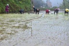 PROVINCIA di GUIZHOU, †della CINA «CIRCA APRILE 2019: La donna ha messo le giovani piante di riso nella risaia sommersa fotografia stock