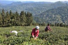 PROVINCIA di GUIZHOU, †della CINA «CIRCA APRILE 2019: Le donne selezionano le foglie di tè dai cespugli del tè fotografia stock libera da diritti