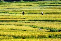 PROVINCIA di PHUTHO, VIETNAM - 19 maggio 2015 - agricoltori che raccolgono riso sui campi Immagine Stock Libera da Diritti