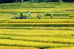 PROVINCIA di PHUTHO, VIETNAM - 19 maggio 2015 - agricoltori che raccolgono riso sui campi Immagine Stock