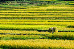 PROVINCIA di PHUTHO, VIETNAM - 19 maggio 2015 - agricoltori che raccolgono riso sui campi Fotografia Stock Libera da Diritti