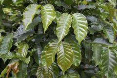 Provinz des Kaffee-Plant Stockfotografie