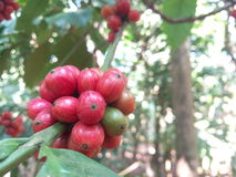 Provinz des Kaffee-Plant Stockbilder