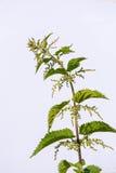 Provocação com as flores no fundo branco Fotografia de Stock Royalty Free