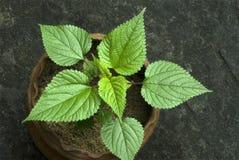 Provocação pungente nas dioica-folhas em pasta do Urtica da planta fotos de stock