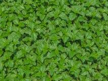 Provocações frescas verdes fundo, textura da folha Foto de Stock
