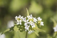 Provocações na flor com flores brancas em um fundo verde Fotos de Stock Royalty Free