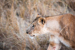 Prowling Lioness Stock Photography