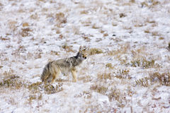On the Prowl. Coyote looking for food at yellowstone Royalty Free Stock Image