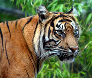 On the Prowl. Sumatran Tiger Stock Photos