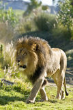 On the Prowl. Large male lion prowling through a grassy plain Royalty Free Stock Photos