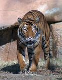 On the prowl. Front view of Tiger a Little Rock Zoo Stock Image
