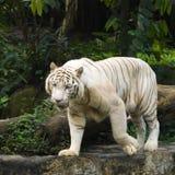 Prowl branco do tigre Fotos de Stock Royalty Free