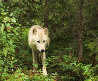 On the prowl. Light brown grey wolf on the prowl Royalty Free Stock Image
