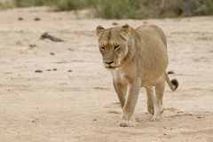 On the prowl. A lioness walking along river hunting prey in South Africa Stock Images
