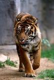 prowling τίγρη Στοκ Εικόνες