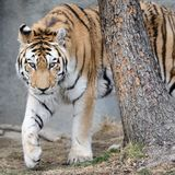 Prowling Amur tiger Royalty Free Stock Photos