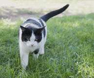 Prowling Black and White Cat Royalty Free Stock Photography