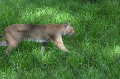 Stalking Bobcat. Prowling bobcat in tall grass Royalty Free Stock Image