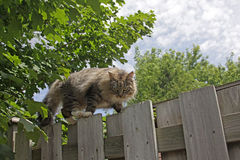 Prowling Cat on Fence. A cat scaling a fence on the prowl Royalty Free Stock Photo