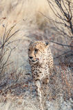 Prowling Cheetah Stock Image
