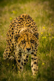 Prowling Cheetah Royalty Free Stock Photography